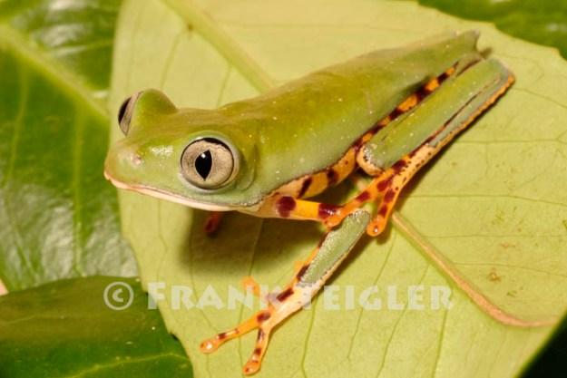 Phyllomedusa tomopterna,Makifrosch, Tiger-striped leaf frog