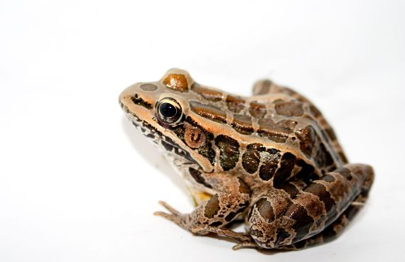 Pickeral_Frog
