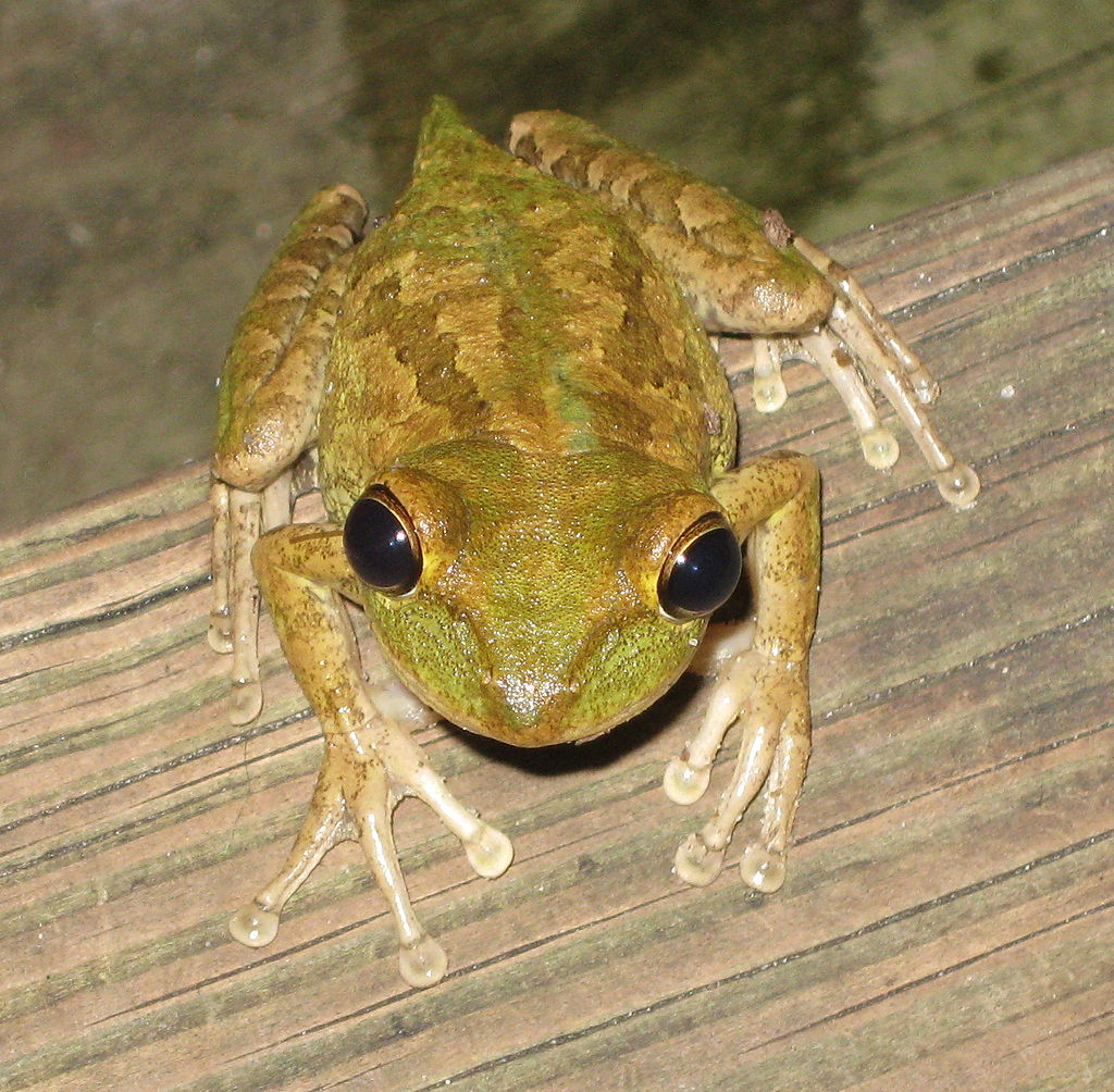 osteopilus_septentrionalis_6