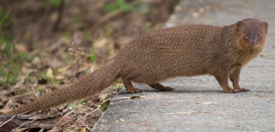 small-asian-mongoose