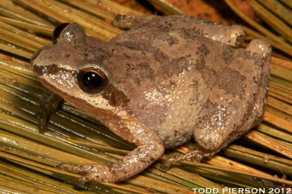 Mountain Chorus Frog (Pseudacris brachyphona)