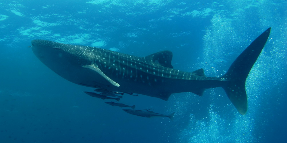 Similan_Dive_Center_-_great_whale_shark.jpg