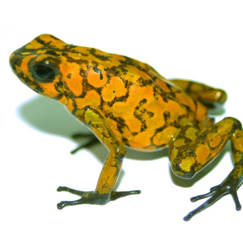 Little Devil Poison Dart Frog
