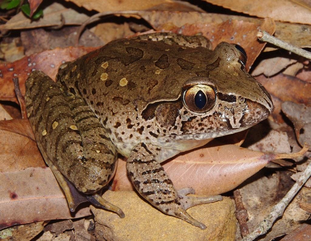 Giant Barred Frog