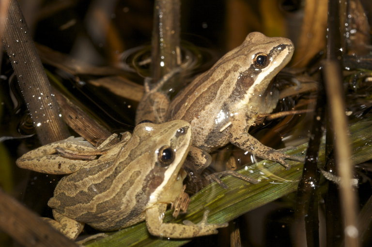 Two New Jersey Chorus Frogs