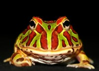 horned_pac-man_frog_1