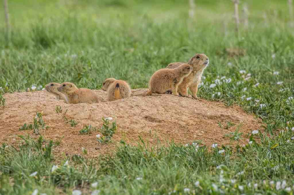prairie dogs poking their heads out of a hole in the ground