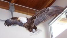 5) Bald Eagle on display