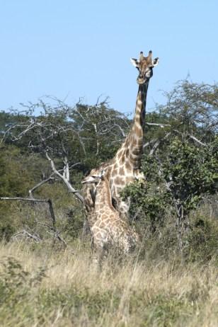 A mother giraffe and calf