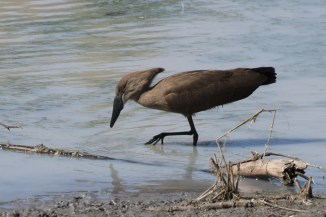 A hammerkop forages