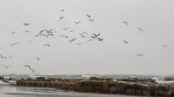 Pescărușii, albatroșii și alte păsări marine se lasă cu greu convinse să se ridice în aer. FOTO Cătălin Schipor