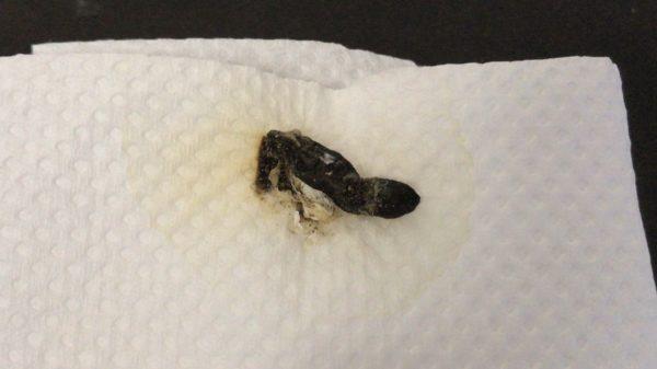 ヒョウモントカゲモドキの糞