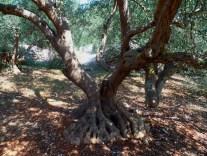 hauseigener Olivenbaum!