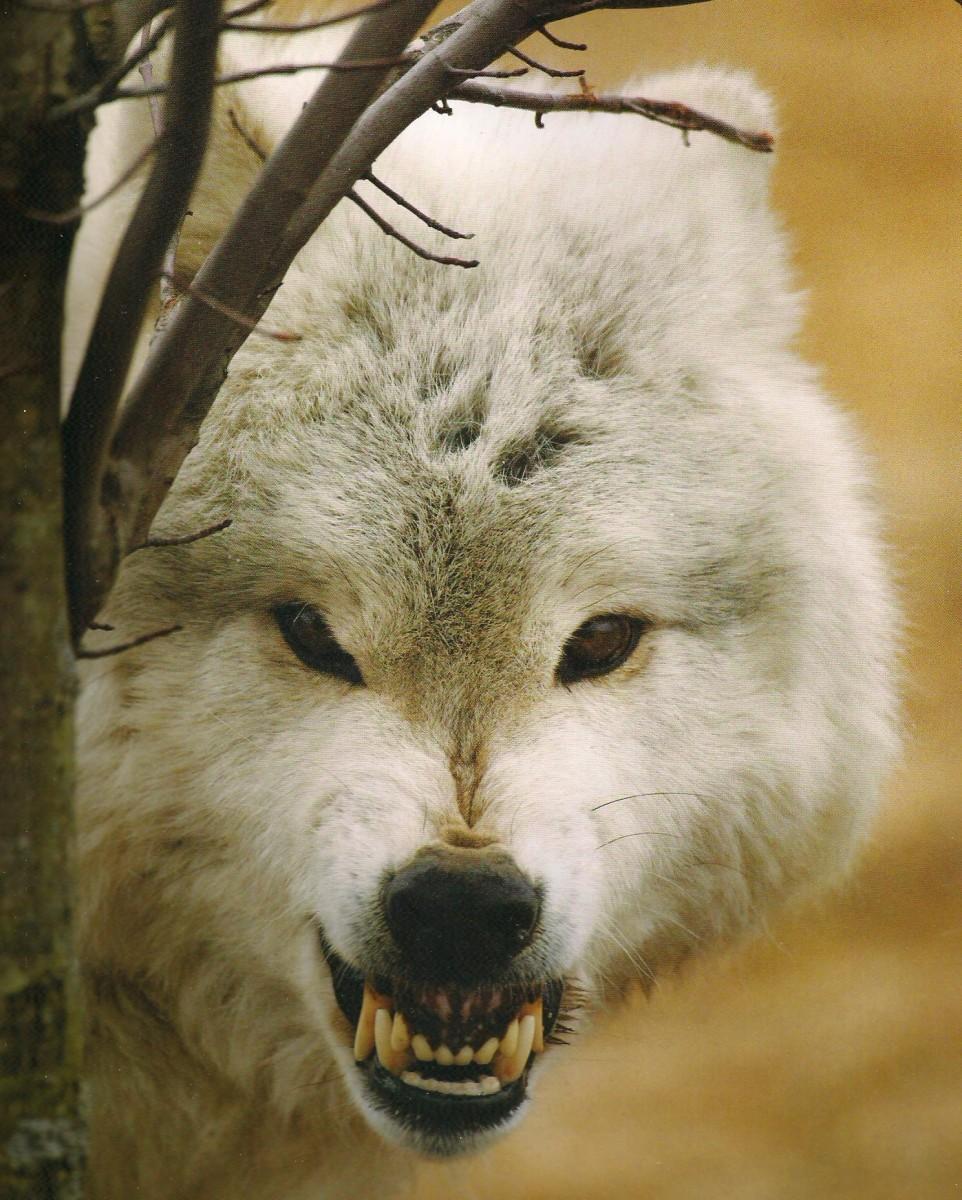 La Figura del Lobo y la Tradición Guerrera en la Hispania Céltica