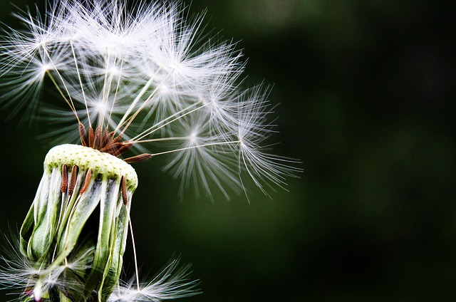 Image of Dandilion depicting allergy relief