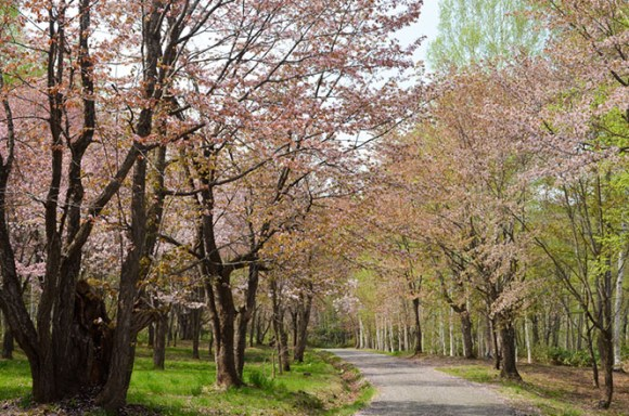 Cherry Blossoms of Yayoi Park in Nayoro