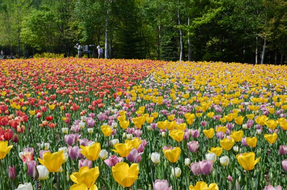 Tulips -Takino National Goverment Park in Sapporo-