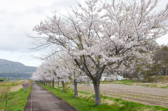 Cherry Blossoms of Cycling Road in Date