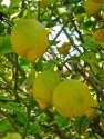 Lemons in Spain