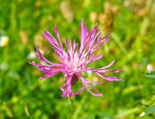 Flower_in_Velez