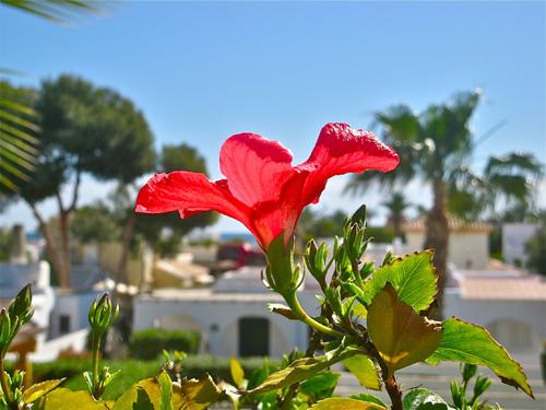 hibiscus andalucia
