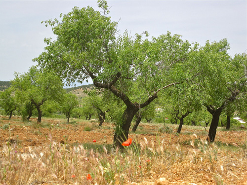 olivos mara