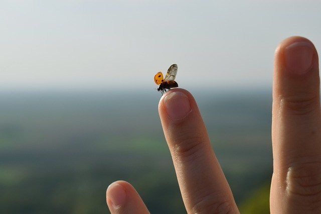 Ladybirds are thought lucky