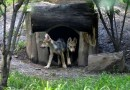 Birth Of Wolf Cubs In Mexico Raises Hopes For Endangered Species