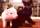 Kitten Has Team of Piglets to Watch Over Him During His Seizures
