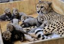This Cheetah Just Broke The Record By Giving Birth To 8 Cubs