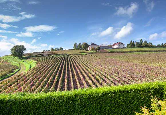 Buy a print of this Champagne vineyard in France