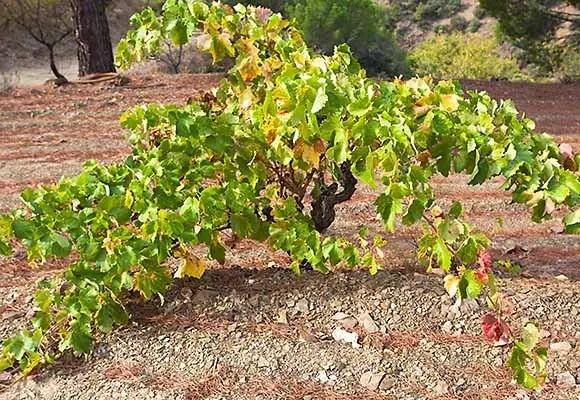 Old Vine Garnacha