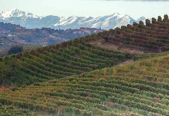 Nebbiolo grape