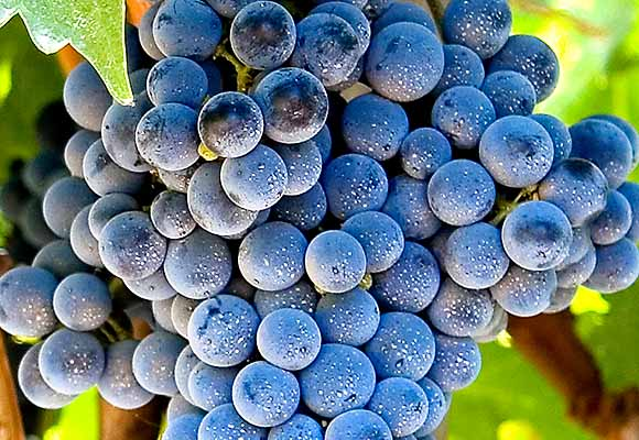 yeast cells on grape skins