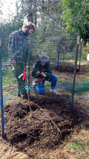 Devin and Jenny closing up one of the protective fences surrounding a fruit tree.