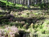 At Granton-on-Spey we enjoyed a hike around Loch an Eilein and found the heather still blooming in the wood.