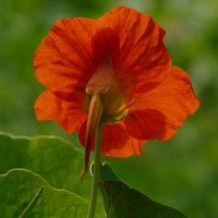 tropaeolum majus, flower, blossom