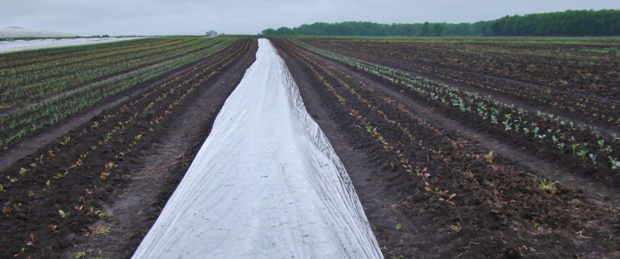 Row cover flanked by beets