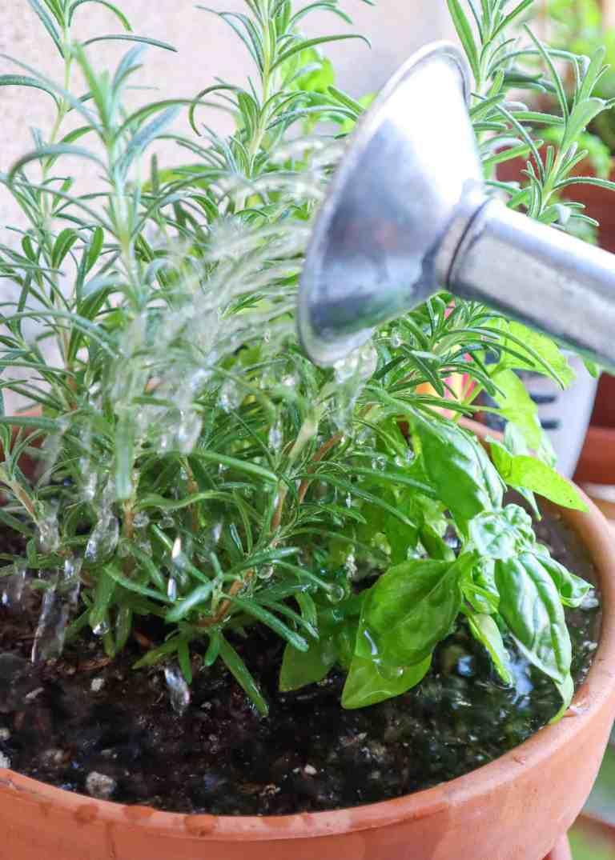 using sea moss gel to water plants