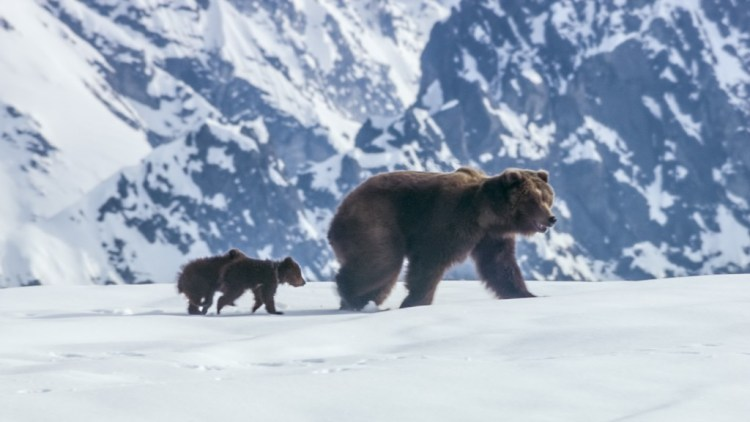 DisneyNature Bears-recensie Disney Nature-review Disney Nature-GoodGirlsCompany-Moederbeer Disney Nature