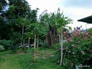 Papaya Tree in the garden