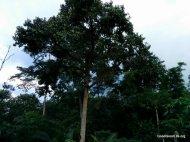Durian Tree in the garden