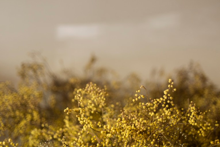 Dried wattle (photographed by Martina Gemmola)