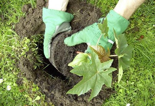 Эффективные советы от выбора сорта клещевины до выращивания в открытом грунте. Клещевина обыкновенная – особенности выращивания