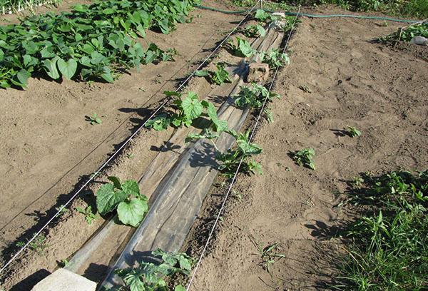 Арбуз в средней полосе России секреты выращивания
