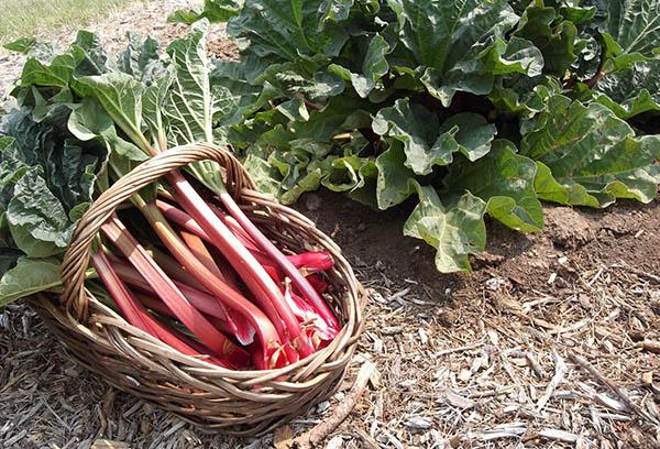 Ревень, выращивание из семян в домашних условиях. Выращивание ревеня и уход за ним в открытом грунте, способы культивирования