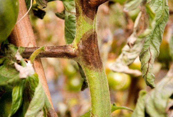 Опрыскивание огурцов Трихополом и обработка Метронидазолом: применение препаратов для лечения растений