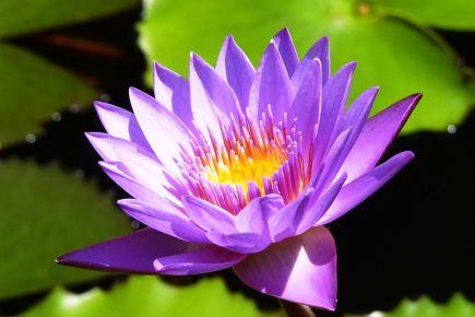 sri lanka lotus
