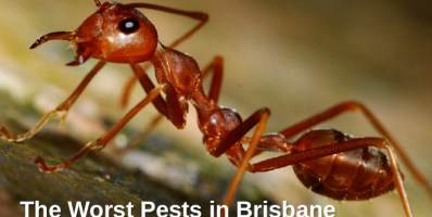 The Worst Pests in Brisbane_IMAGE