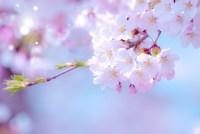 三春の滝桜のお花見情報2015-便利で得する交通手段!必見です!